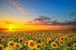 خواص دانه آفتابگردان | موارد استفاده و ارزش غذایی تخمه آفتابگردان | مجله سلامت و دانلود مداحی